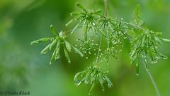 Ein nasser Sommer (Oerliuschi) Tags: rain drops natur pflanze regentropfen macroaufnahme