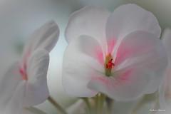 Plargoniums lierre (fred'eau) Tags: flower macro 50mm jardin panasonic parc blanc lierre douceur gh1 plargonium