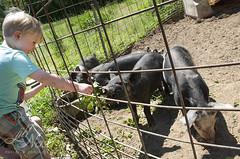 Baby bacons will gladly eat anything (grilljam) Tags: summer seamus piggies 4yrs theylleatanything june2016 swangofarm babybacons
