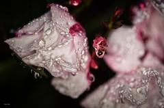 Schnheit nach dem Regen (Dieter Gora) Tags: flower beauty wasser blte oleander wassertropfen