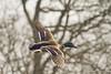Mallard in flight 1 (http://deniseagling.photography) Tags: birds wildlife carrmill carrmilldam