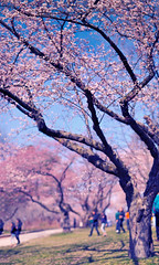 sakura hanami - high park 2012 (albertintoronto) Tags: park panorama holiday toronto ontario canada japan easter cherry japanese high dof blossom bokeh 85mm sakura f18 effect viewing hanami method brenizer d90