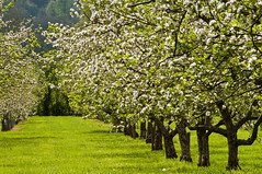 The orchard in Blossom (Peter-snottycat) Tags: apple blossom orchard