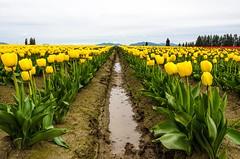 ~Skagit Tulips 2012 (BnGphotos) Tags: pink flowers orange flower colors landscape photography washington spring nikon tulips valley redmond fields wa skagit 70300mm vernon 1224mm mountvernon skagitvalley mtvernon blooming photostroll d7000 mygearandme