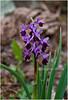 Orchidea cornuta (PicM@) Tags: sardegna flowers nature flora mediterraneo sardinia natura fiori orchidee montagna ogliastra orchide seui mediterranenan orchislongicornu orchideespontanee orchideacornuta