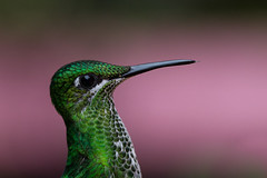 Portrait of a Humingbird II (Oliver C Wright) Tags: green bird costarica hummingbird monteverde