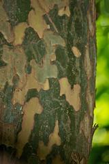 Bark (Deb Jones1) Tags: trees brown tree texture nature beauty canon garden botanical outdoors flora bark flickawards debjones1