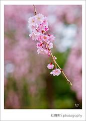 () Tags: park travel pink flowers trees light sky white plant flower macro tree castle nature japan garden cherry 50mm tokyo spring blossom bokeh blossoms olympus  cherryblossom  sakura cherryblossoms  zuiko cherrytree e30 cherrytrees    cherryblossomfestival