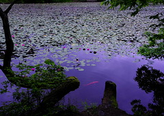 Water Lily and Carp (h orihashi) Tags: japan pond pentax hiroshima  carp k5  blueribbonwinner coth supershot fineartphotos abigfave royalgroup impressedbeauty crystalaward diamondclassphotographer flickrdiamond citrit diamondstars justpentax flickrestrellas cherryontopphotography hatsukaichishi therubyawards damniwishidtakenthat flickraward pentaxk5