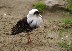 Ruff (clive117) Tags: wild bird sand legs head feathers ruff mygearandme rememberthatmomentlevel1 freedomtosoarlevel1birdphotosonly freedomtosoarlevel2birdphotosonly
