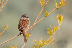 Ferreirinha - Prunella modularis - Dunnock (Jose Sousa) Tags: wild naturaleza bird portugal nature birds animal animals fauna wildlife natureza birding feathers birdsinportugal avesemportugal natura aves dunnock ave animales animaux animais birdwatching avesdeportugal animalia avian prunellamodularis oiseaux guarda avifauna birdwatcher selvagem penas vidaselvagem ferreirinha birdsfromportugal avesjsousa macainhas