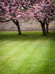 20120504-0043 (www.cjo.info) Tags: plant flower tree garden cherry scotland highlands flora blossom unitedkingdom nairn cawdorcastle exif:iso_speed=200 exif:focal_length=45mm geo:state=scotland camera:make=olympusimagingcorp camera:model=ep1 geo:countrys=unitedkingdom exif:make=olympusimagingcorp exif:model=ep1 exif:aperture=40 exif:lens=olympusm45mmf18 geo:lat=57524327777778 geo:city=nairn geo:lon=3926575
