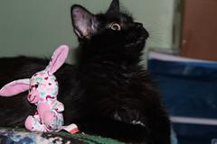 IMG_0912 (novasdtr) Tags: cats pets black animals cat fur kitten babies kittens whiskers felines blackfur housepets silkyfur animalswithblackfur