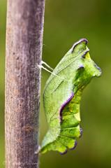 Puipevine Swallowtail-7674 (Timtastic!) Tags: butterfly aristolochia pupa pipevineswallowtail diapause battus hirsuta philenor chyrsalis