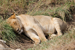 Comfortable in a ditch (nhpanda (always trying to catch up....)) Tags: tanzania lion safari bigcat serengeti lioness flickrbigcats pride6