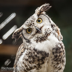 Great horned owl (Richard Olpin LRPS) Tags: bird animal fauna flickr wildlife owl online herefordshire greathornedowl facebook kington owlcentre