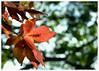 Ready To Fall (Wayne Barkley) Tags: autumn trees leaves leaf nikon bokeh 50mmf18 flickrduel nikond7000