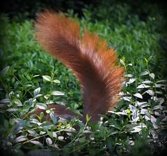 Oh my God, where I've just hidden the nuts.......??? (SpitMcGee) Tags: friedhof germany squirrel cologne köln nrw eichhörnchen bushytail melaten aufdersuche buschigerschwanz cremetery searchon