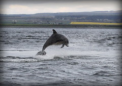 Bottlenose Dolphin - Chanonry point (Ally.Kemp) Tags: scotland jumping marine dolphin scottish dolphins mammals leaping breaching moray rosemarkie blackisle firth bottlenose fortrose rossshire wildlfe