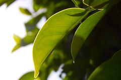 Leaf (JohnQPhats) Tags: lighting back leaf backlighting