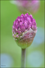 Allium bud (jenniemay2011) Tags: flowers bulb spring nikon purple allium ornamentalonion d5100