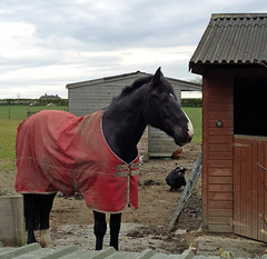 Black Beauty (littlestschnauzer) Tags: uk red horses horse black west chickens apple beauty field rural countryside coat yorkshire fields stable 4s hens iphone