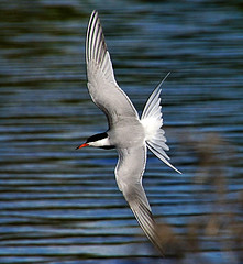 Common Tern In Flight (Oldt1mer - Keith) Tags: england bird water flying wings sony tail flight beak feathers tern sthelens commontern sternahirundo carrmill thegalaxy a65 carrmilldam mygearandme mygearandmepremium mygearandmebronze mygearandmesilver mygearandmegold mygearandmeplatinum mygearandmediamond sonya65 slta65
