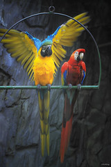 Show off beauty (-clicking-) Tags: lighting light motion nature beautiful beauty birds animals zoo wings colorful pretty spectrum natural feathers parrot vietnam moment lovely chimkét highqualityanimals rememberthatmomentlevel4 rememberthatmomentlevel1 showoffbeauty rememberthatmomentlevel2 rememberthatmomentlevel3 rememberthatmomentlevel5