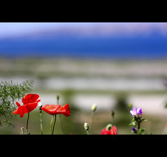 I'd rather have a moment of wonderful than a lifetime of nothing special. (*karla) Tags: blue red sea flower green nature canon 50mm dof purple poppy almostsummer finallythesea myfirsttriptoseawithmybabygirl imissedyouflickrguys