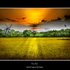 Field of rape in full flower (Peter Roder) Tags: sky sun tree bird heron windmill field clouds feld himmel wolken rape sunrays sonne raps sonnenstrahlen vogel windmhle