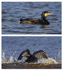 Warme aalscholver (NLHank) Tags: bird nature dutch birds wildlife vogels cormorant vogel aalscholver