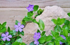 Complications... (bigbrowneyez) Tags: wood flowers blue stilllife green nature rock pretty purple vine textures periwinkle lovely contrasts dainty mybackgarden simplicityinnature rememberthatmomentlevel1