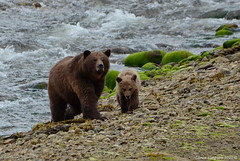 Mama and Grizzly Cub (Ursus arctos horribilis) (Photography Through Tania's Eyes) Tags: bear baby canada water animal female fur photography cub photo moss pom nikon rainforest rocks photographer bc image britishcolumbia wildlife profile young mama photograph sanctuary northernbc grizzlybear grizzlybearsanctuary copyrightimage princerupertadventuretours westcoastlaunch grizzlybearprofile nikond7000 khutzeymateengrizzlybearsanctuary taniasimpson princerubert allofnatureswildlifelevel1 allofnatureswildlifelevel2 allofnatureswildlifelevel3 ktzimadeengrizzlybearsanctuary grizzlybeartour