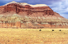 Three Cows (arbyreed) Tags: red west sandstone cattle redrock range openrange freerange oldwest coloradoplateau cattlecountry waynecountyutah arbyreed openrangecattle