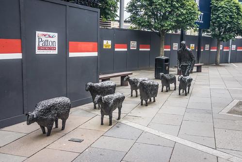Belfast - Sheep On The Road By Deborah Brown