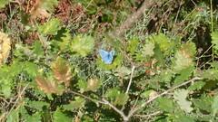 Argus bleu, Hauhechel-Bluling (m) (Polyommatus icarus) (2011-08-14 -30) (Cary Greisch) Tags: france papillon fra polyommatusicarus gers midipyrnes hauhechelbluling argusbleu carygreisch montgut montadet