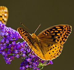 some kind of fritillary (loco's photos) Tags: orange black nature butterfly bug insect outdoors purple pentax bokeh kr butterflybush fritillary aphroditefritillary dal55300