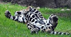 Leopardo (Jesus Aguayo) Tags: nikon leopard rest bigcats d90