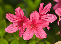 Red Azaleas In Rainy Season May (aeschylus18917) Tags: danielruyle aeschylus18917 danruyle druyle ダニエルルール ダニエル ルール nature spring 春 season 季 seasons 季節 japan 日本 macro nikon d700 nikond700 flower flowers 花 blossom bud bloom 105mmf28gvrmicro 105mmf28 nikkor 105mm nikkor105mmf28gvrmicro azalea tsutusji つつじ ツツジ ericales ericaceae rhododendron pentanthera tsutsuji rain raindrop waterdrop waterdroplet rainyseason 梅雨 tsuyu baiu raindrops tokyo 東京 red saitama saitamaprefecture 埼玉県 saitamaken sayama 狭山市 sayamashi rainrain f28 g vr micro pxt ヒノデギリ