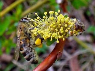 Corbicular Yellow. European Honey Bee, Apis mellifera, on Salix caprea, Goat Willow, Hortus Haren, Haren, Groningen, The Netherlands