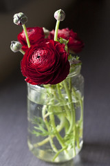 Ranunculus in the Sun (Serena Hsia) Tags: flowers red spring blossom ranunculus bloom bouquet