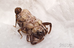 Ananteris scorpion (John Alexander Uribe) Tags: macro scorpion aracnido escorpio escorpin ultravioleta autotomia ananteris
