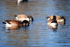 Minto-Brown Island City Park (Emepol Photo) Tags: lake bird water animal duck exterior outdoor ducks aves pato patos