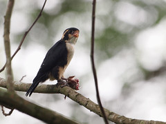 Blacked-thighed Falconet (ChongBT) Tags: black bird nature animal fauna wildlife avian frim kepong falconet thighed