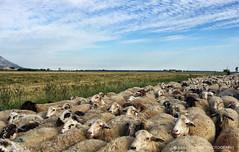 il mondo delle pecore (albygent Alberto Gentile) Tags: verde green sheep country flock campagna cielo pecore