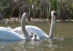 swan-family (321dustymix) Tags: lake pond wildlife swans aquatic cygnets ashingtonwoods