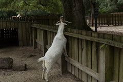 Curiosity HFF (Irina1010) Tags: animal canon fence mammal goat curious middletonplace hff
