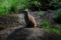 Curious Meerkat 3 (ReneB92) Tags: netherlands meerkat outdoor arnhem burgerszoo niederlande erdmnnchen arnheim