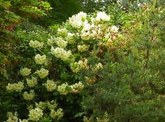 2016.05.21.014 PARIS - Parc Floral - Rhododendrons (alainmichot93 (Bonjour  tous)) Tags: paris france flower fleur seine fleurs flora ledefrance rhododendron boisdevincennes parcfloral 2016 paris12mearrondissement