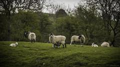 150/366 Lambing Season (richardknowles76) Tags: family community sheep flock group lambs livestock heard lambingseason